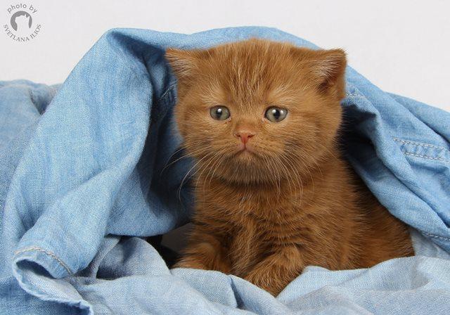 Британские котята модного окраса - циннамон!