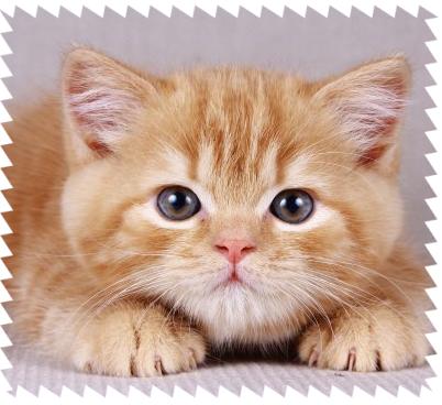 Британская короткошерстная кошка: фото, характер, описание породы | 368x402
